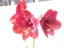 Amaryllis01