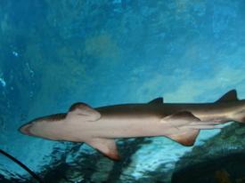 Shark1_2