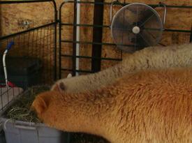 Alpacas02