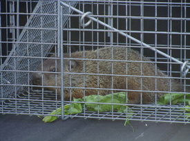Hedgehog01