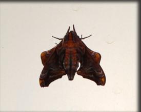 Moth_copy