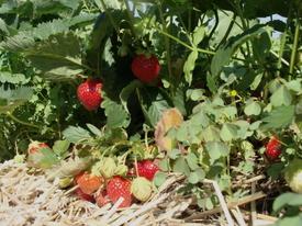 Strawberry06a_2