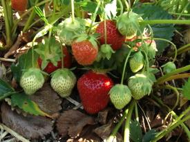 Strawberry07_2