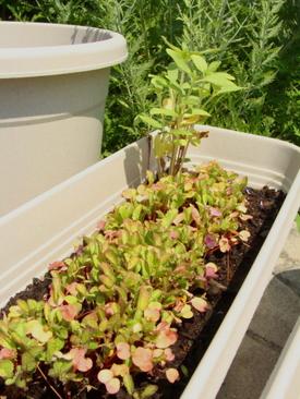 Radishesandsunflowers